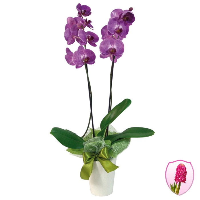 orchid in a pot, purple orchid, phalaenopsis, white orchid in pot with green ribbon