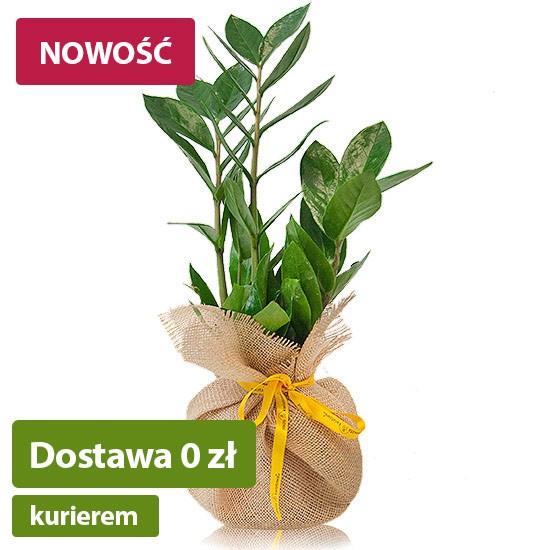Zamiokulkas, roślina w doniczce z jutą i wstążką