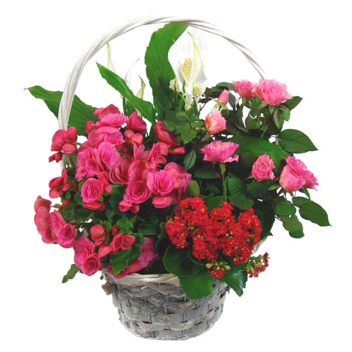 Potted flowers in a basket, a joyful composition of roses, calanches, begonias, silhouettes, a joyful composition in a basket