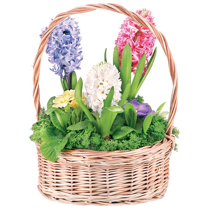 Colourful hyacinths and primroses in the basket, Composition Hyacinth