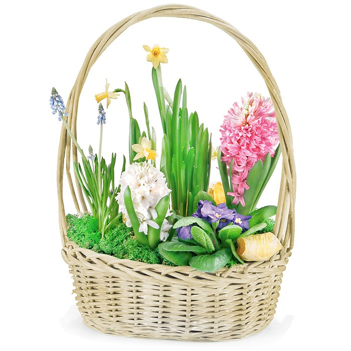 Spring composition in basket, spring flowers in basket, hyacinths and daffodils