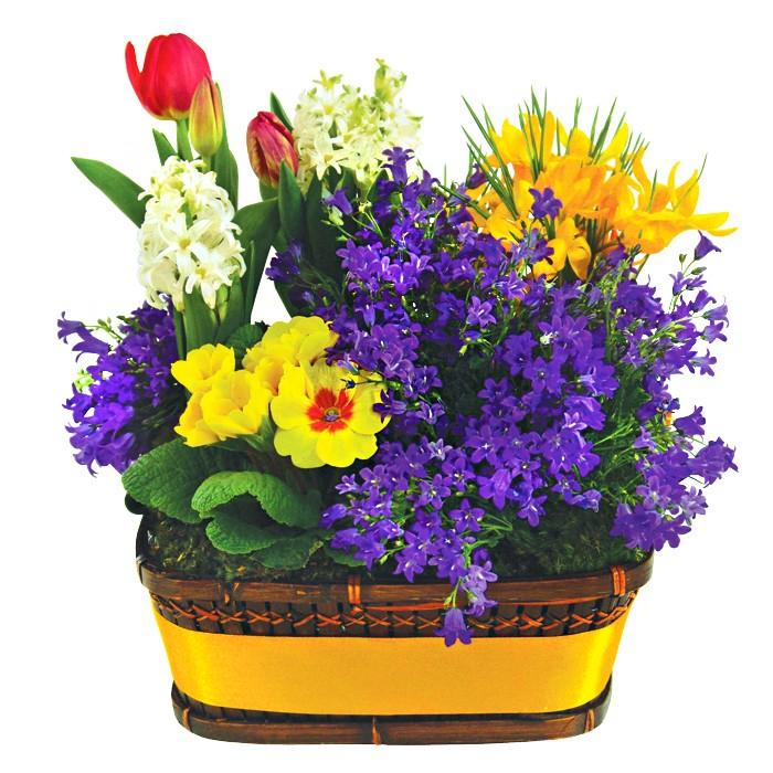 kompozycja balkonowa, prymule, hiacynt doniczkowy, czerwone tulipany, kompozycja kwiatów w wiklinowym koszu obwiązanym żółtą wstążką