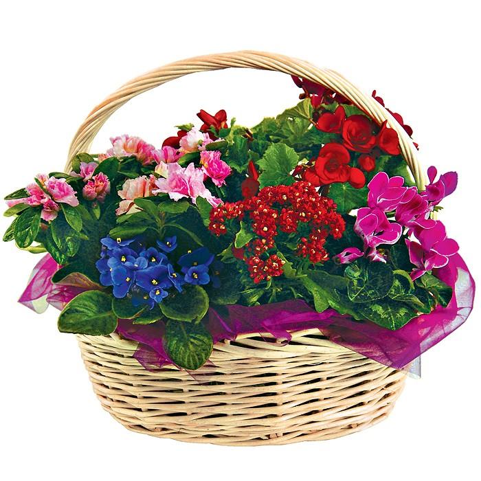 koszyk kwiatowych różności, kompozycja kwiatów w wiklinowym koszu, begonia, azalia, kalanchoe, fiołek, cyklameny