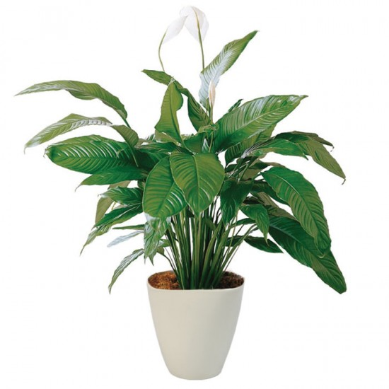 Spathiphyllum w doniczce