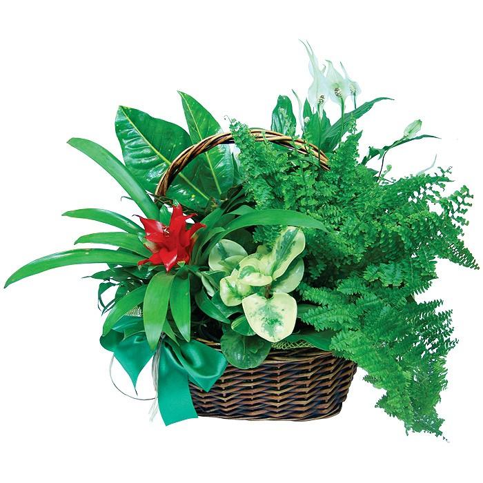 Kompozycja z roślin doniczkowych, kwiaty doniczkowe w koszu, kompozycja krotonu,heredy i neoheoregelia