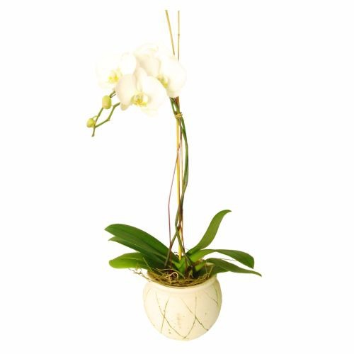 Orchid In Ceramic Vase (Subject to availability)