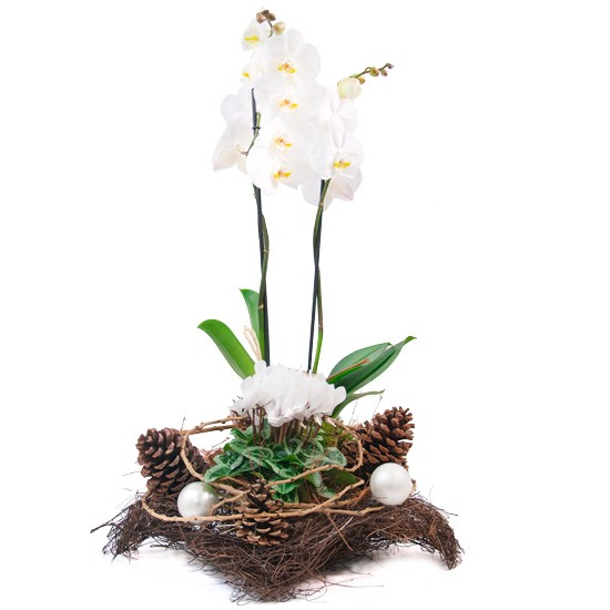 Centrepiece lullaby, phalaenopsis, potted cyclamen, cones, fascinator, reed baubles, Christmas reeds