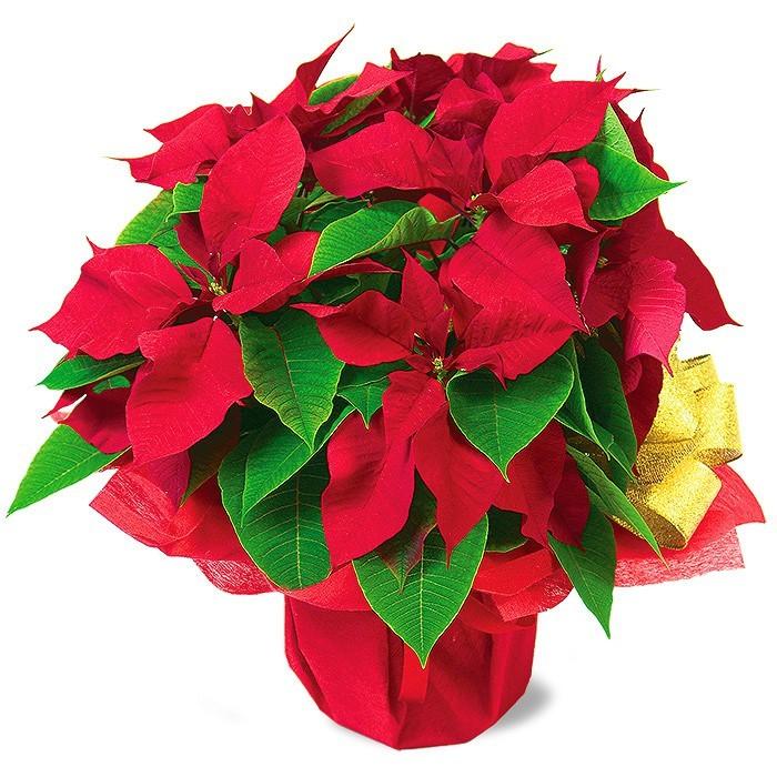 Gwiazda Betlejemska, gwiazda betlejemska w doniczce, kwiat na Boże Narodzenie