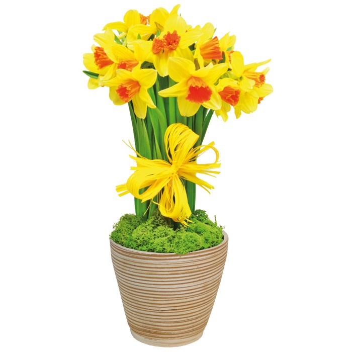 The composition Spring joy, the composition of 15 yellow daffodils with moss, tied with a ribbon in a jug , spring flowers