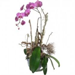 Szlachetna Orchidea