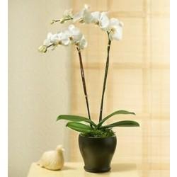 Orchidea w doniczce