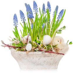 Grape hyacinths for Easter