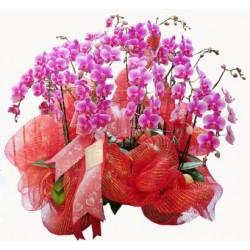 Cesarskie orchidee
