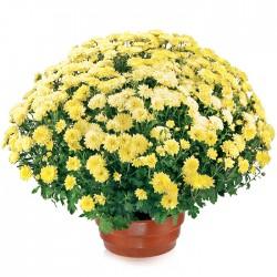 Flowerpot chrysanthemum