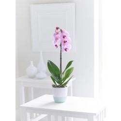 Różowy phalaenopsis