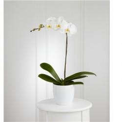 Biała orchidea w doniczce