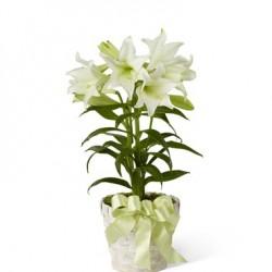 Wielkanocna lilia