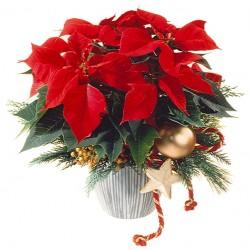 Czerwona świąteczna gwiazda betlejemska
