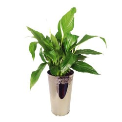 Spathiphyllum In Decorative Vase (Subject to availability)