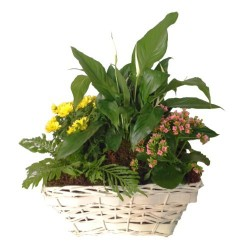 Mixed Plants In Basket (Subject to availability