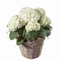 Hortensie in weiß