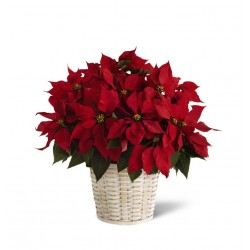 The Red Poinsettia Basket