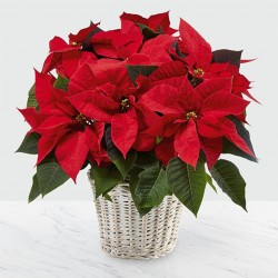 The Red Poinsettia Basket (Large)