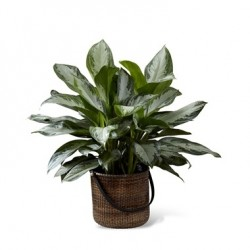 Chiński Evergreen