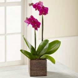 Fioletowy Phalaenopsis