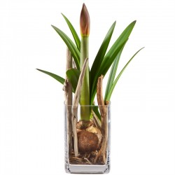 Pure Amaryllis including vase