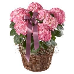 Różowa hortensja ze wstążką
