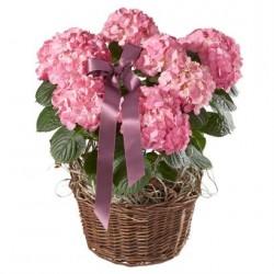 Wspaniała hortensja (różowa) z wstążką