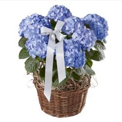 Niebieska hortensja ze wstążką