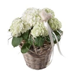 Biała hortensja z serduszkiem