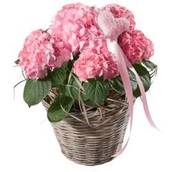 Różowa hortensja z serduszkiem