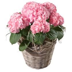 Różowa hortensja
