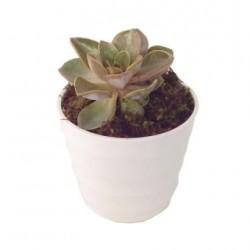 Cactus In Ceramic Vase (Subject to availability)