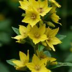 Tojeść - żółte ogrody