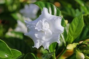 gardenia_bialy_kwiat