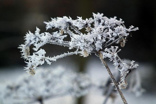 zima_kwiat