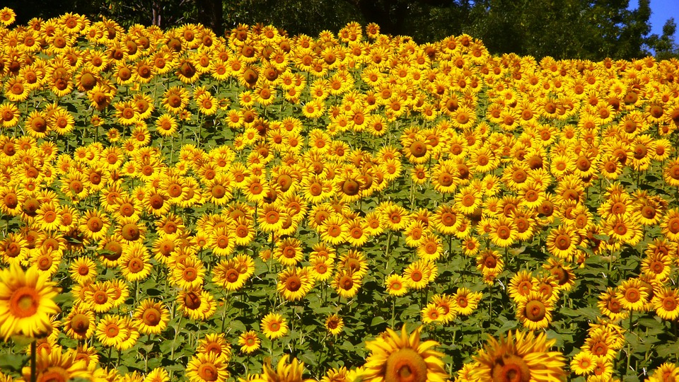 sunflowers-76119_960_720