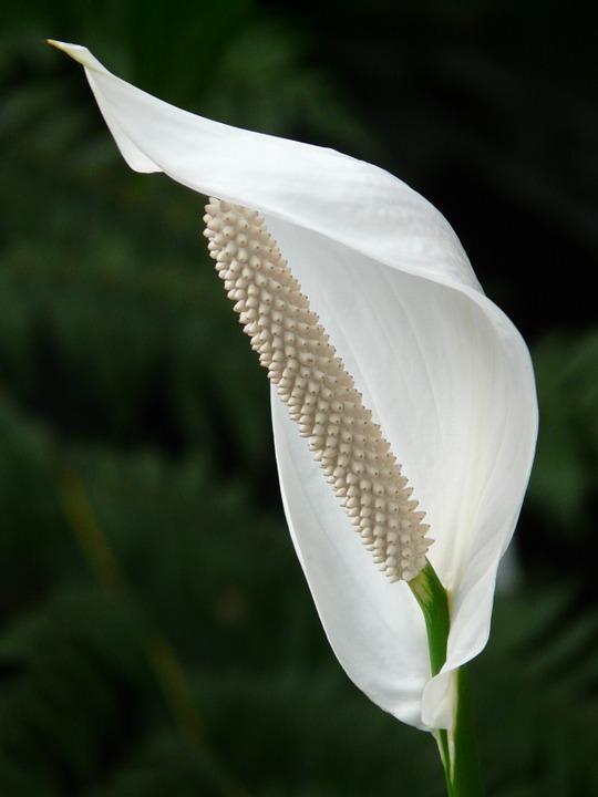 spathiphyllum-53063_960_720