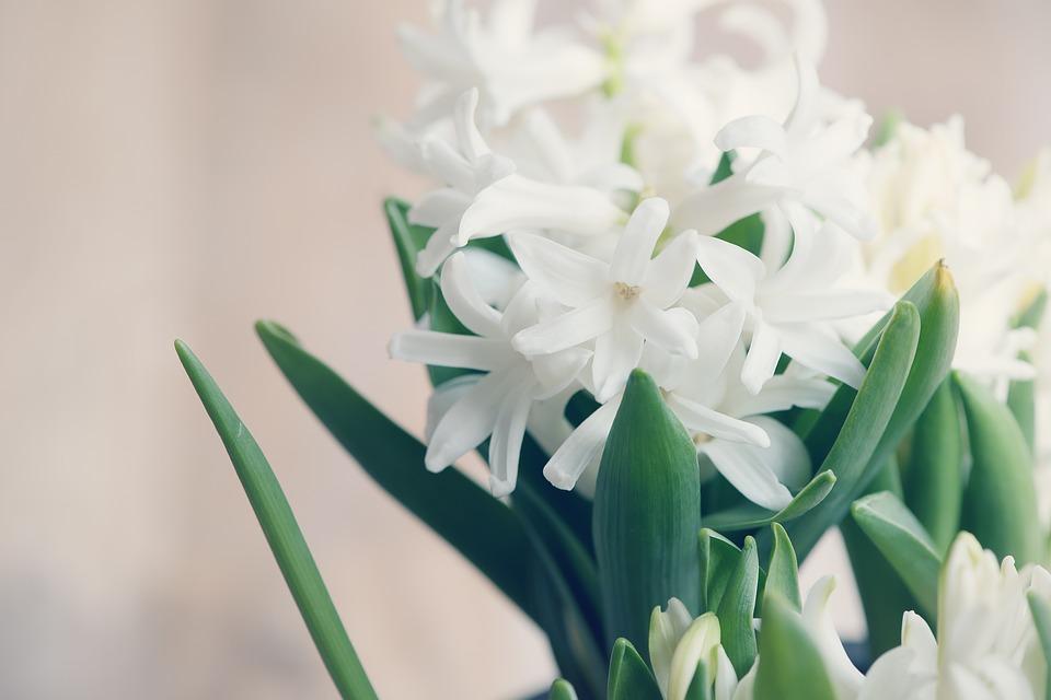 hyacinth-1264658_960_720