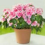 Kwiaty, które lubią zimę