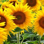 Słoneczniki - kwiaty pełne słońca