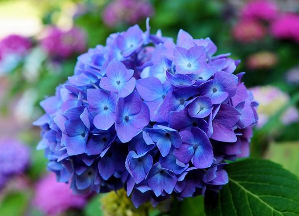 hortensjakwiat