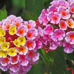 Kwiaty zmieniające kolor