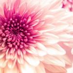 Chryzantemy - najpopularniejsze kwiaty jesieni