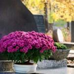 Popularne kwiaty funeralne na Wszystkich Świętych