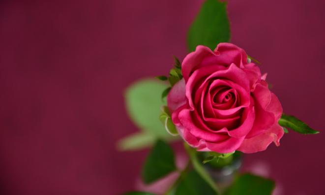 Róże W Wazonie Jak Przedłużyć Ich Trwałość Poczta
